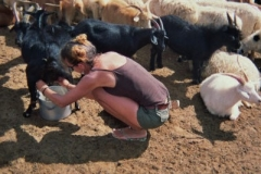 Milking goats in Mongolia